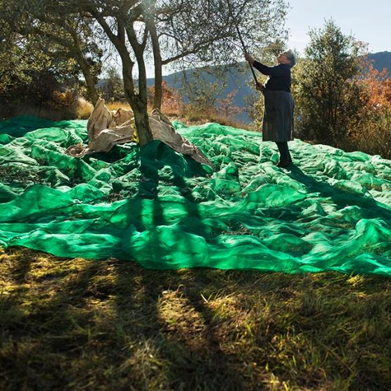 La Teresa, de Casa Toà, plega olives a Pessonada. Pallars Jussà © Oriol Clavera